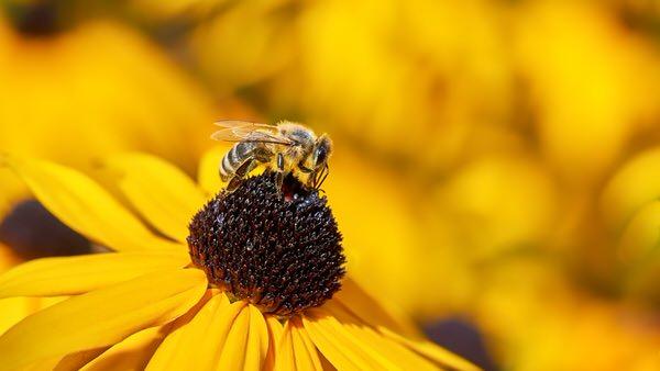 I wie Insekt (Biene auf Blüte)