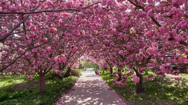 K wie Kirschblüte (im Botanischen Garten Rostock)